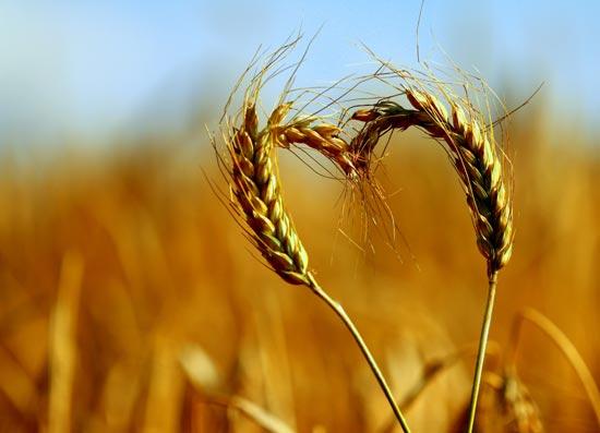 Getreideaehren-formen-Herz
